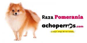 Comprar Pomerania