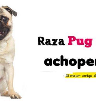 Comprar Pug Carlino