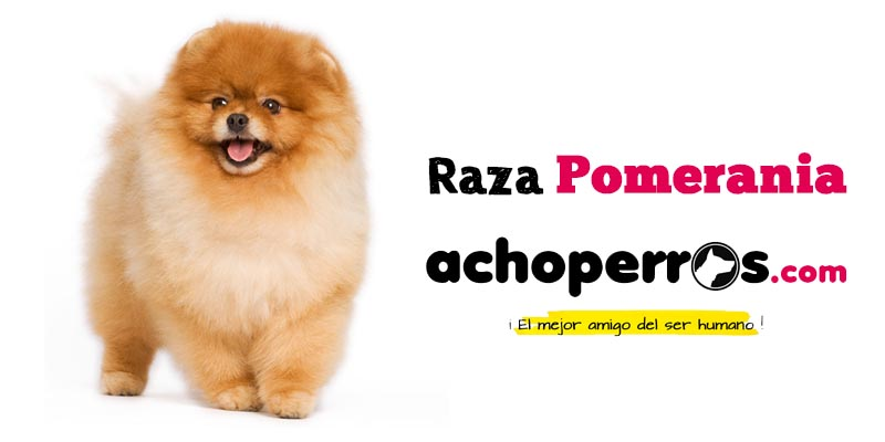 Raza Pomerania