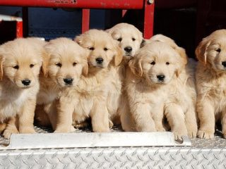 Vendo Cachorros De GOLDEN RETREVIER