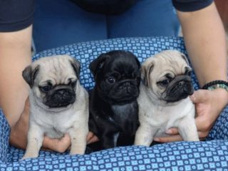 Cachorros De Pug Carlino