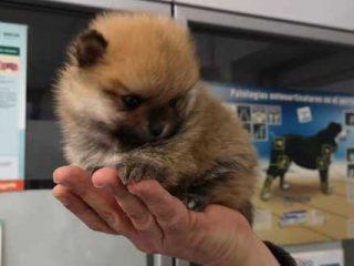 Comprar Cachorros Pomerania