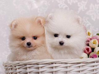 Vendo Pomeranias