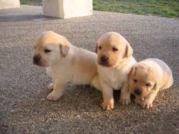 Cachorros De Labrador Retriever 1 350